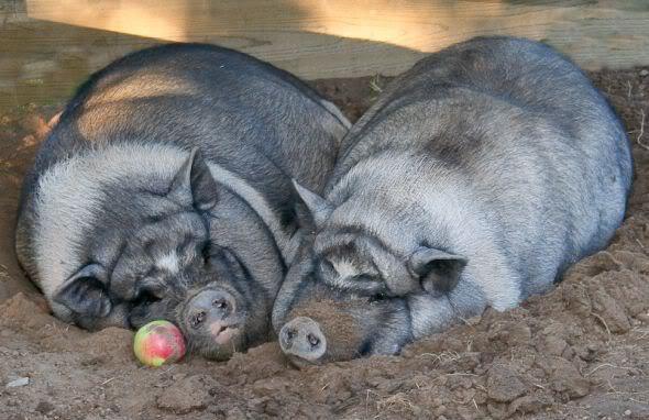 BlogCamp SP - Os Porcos