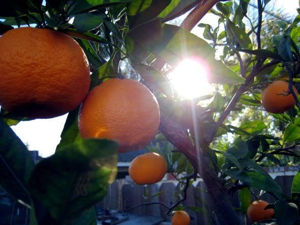Tangerina - Uma das minhas frutas preferidas